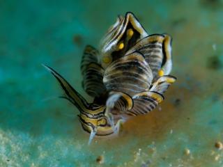 Nudibranqui mariposa - cyerce nigra