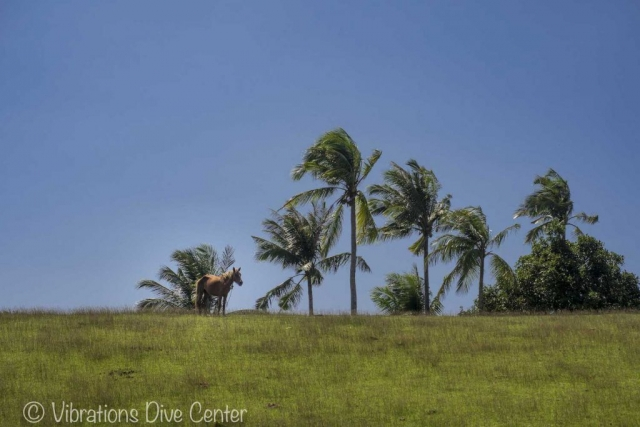 Horse on the hills of Carabao Island. Informations activities and things to do on Carabao.