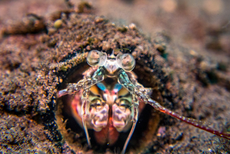 Diving Carabao Philippines-Mantis Shrimp