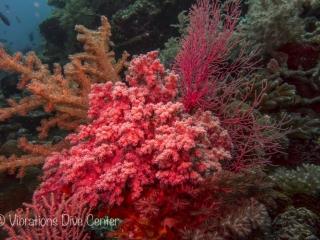 Vibrations Plongée Carabao Island. Plonger à Carabao, Romblon, à côté de Boracay.