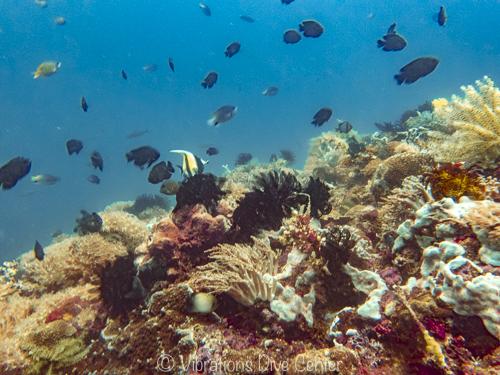 Arrecife en isla de carabao, vibrations dive center, romblon, filipinas.
