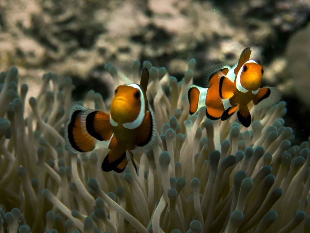 nemo-clownfish-diving-carabao-philippines