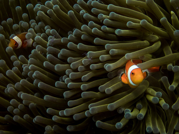 Clownfish in the Philippines diving with Vibrations.