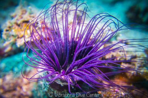 photographie sous-marine macro d'un cérianthe en plongée à Carabao, Romblon, Philippines.