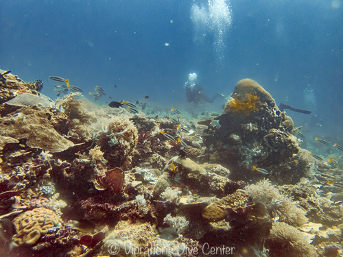 Coral reef of carabao island, vibrations dive center, Philippines.
