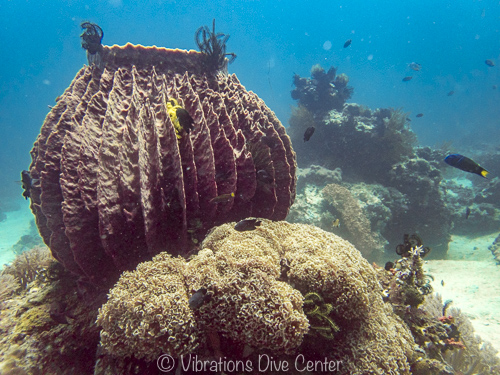 barrel sponge on the house reef at vibrations dive center, carabao, philippines.