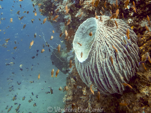 Barrel sponge on a dive site in Carabao Philippines.